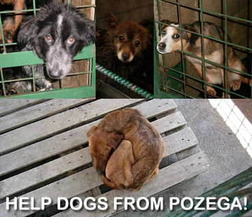 Pozega dogs graphic